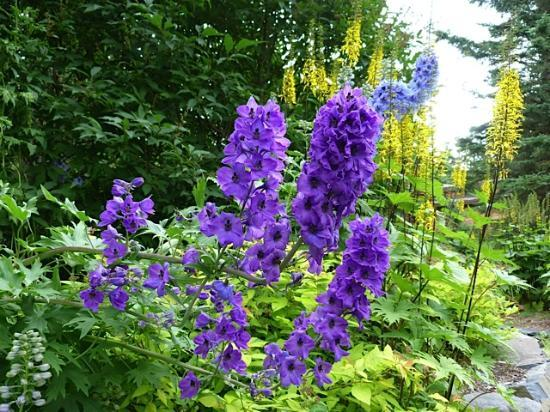 Alaskan Frontier Gardens Bed and Breakfast: Delphiniums taller than me!