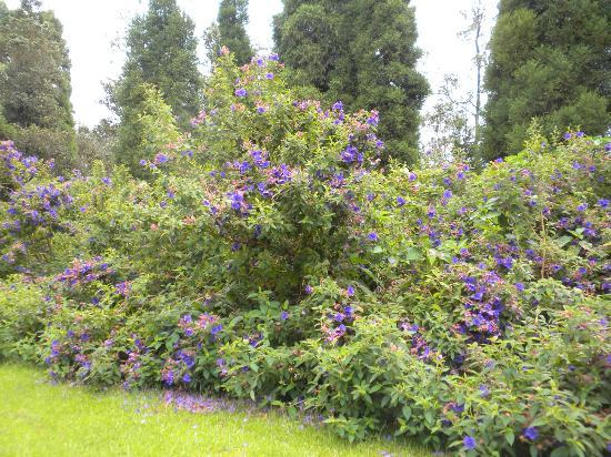 Volcano Artist Cottage: huge princess Flowers lining the property