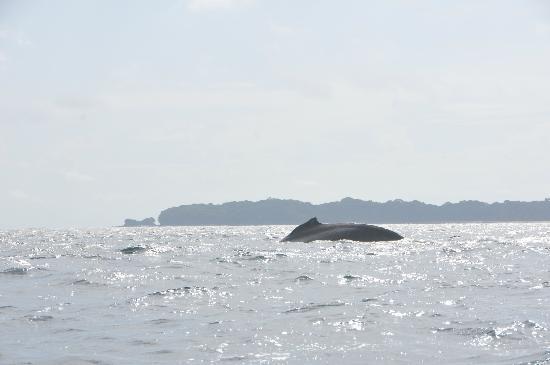 Perlas Islands (Las Perlas Archipelago): whale