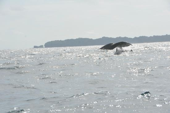 Perlas Islands (Las Perlas Archipelago): whale tail