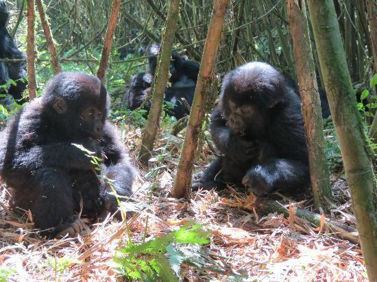 Ruhengeri, Rwanda: Baby gorillas