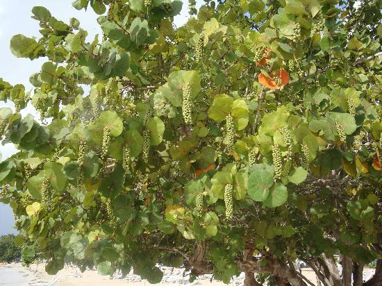 Couples Negril: Sea Grape on our favorite tree