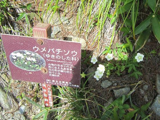 白馬村, 長野県, ウメバチ草
