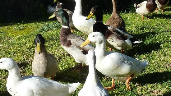 Burra Motor Inn : Friendly ducks at your door