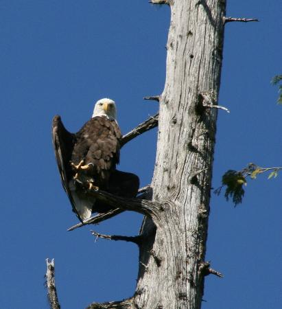 Southeast Sea Kayaks: Bald eagle drying his wings