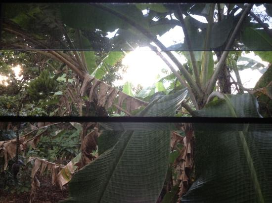 Cape Trib Farmstay: the banana tree outside our cabin
