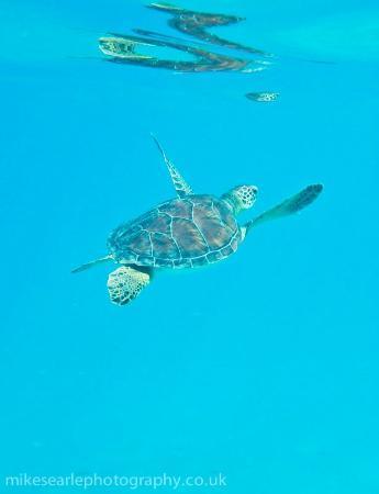 Grand Aygun Hotel: Turtle