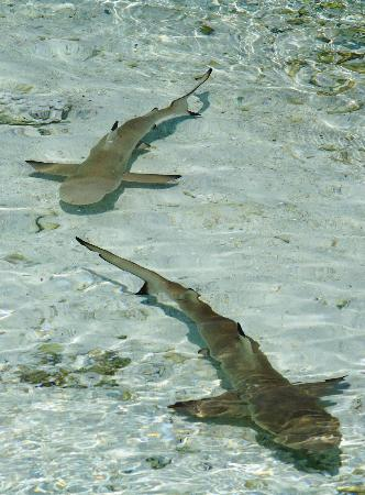 bagno con gli squali - picture of kuredu island resort & spa, kuredu