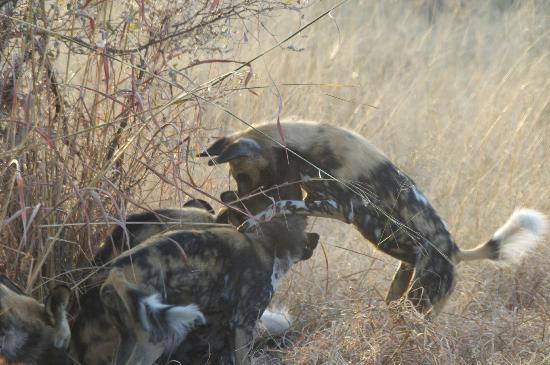 Lagoon Camp - Kwando Safaris: Wild Dogs