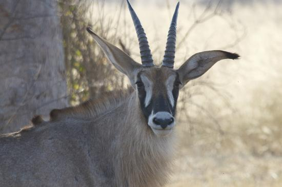 Lagoon Camp - Kwando Safaris: Roan up close 