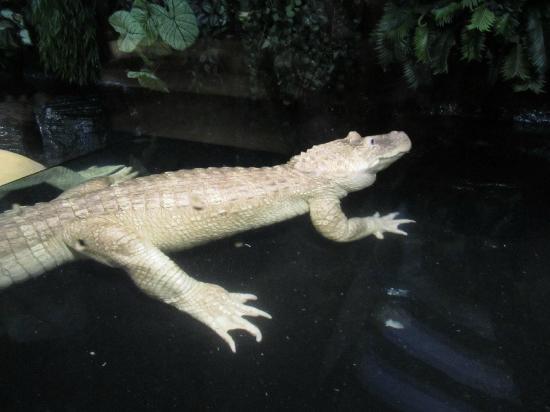 Alligator Alley Adventures: albino alligator