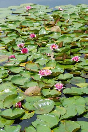 Willow Tree Estate: Lilly pads on the little pond
