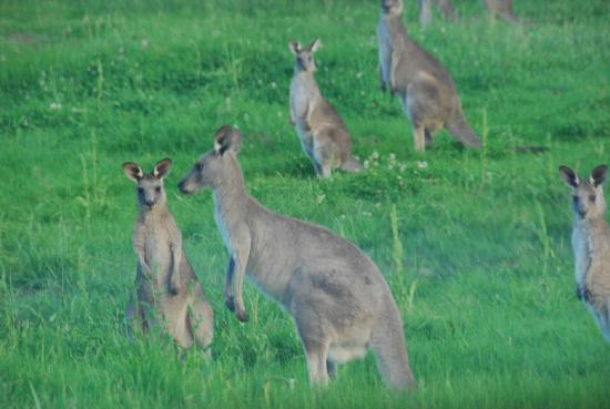Willow Tree Estate: Roos everwhere each morning and late afternoon