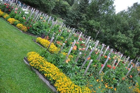 Moose Gardens Bed and Breakfast: Marya's award-winning dahlias.