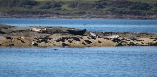 Craignish Cruises: Seals