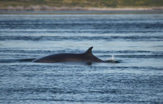 Craignish Cruises: Minke whale surfacing