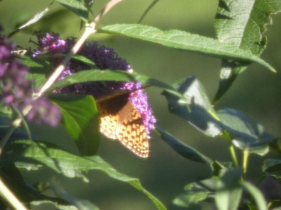Sleeping Bear Bed and Breakfast : Pretty Butterfly on butterfly bush