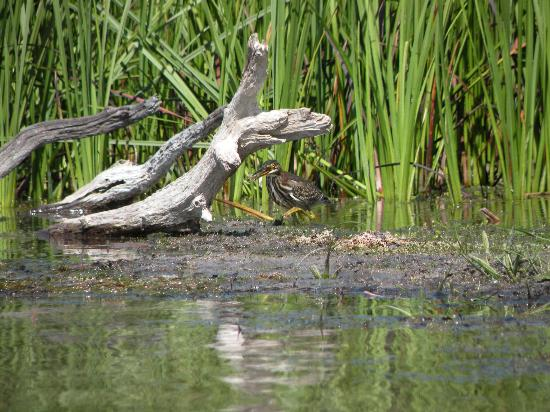 Sleeping Bear Bed and Breakfast: watched a Green Heron catch a crawdad on the Platte River