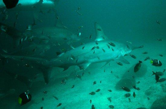 Marlin Adventures: Buceo con Tiburon Martillo