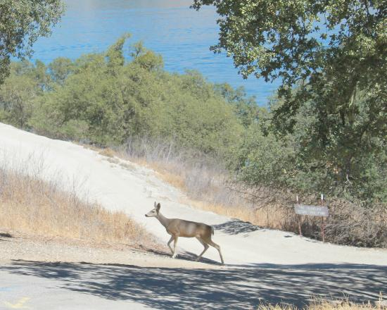 One of many deer at Lake San Antonio, CA