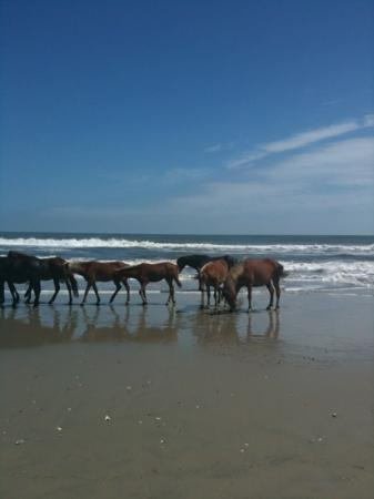 Carova Beach: one black stallion in the group