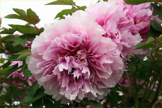 Nest Haven Bed and Breakfast: Enjoy our gardens here Peonie tree flowers, set in our gardens