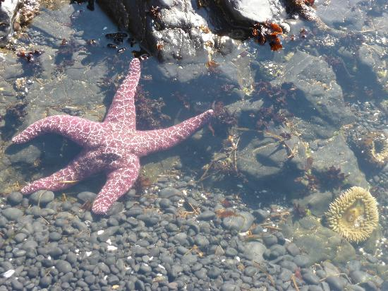 Yaquina Head Outstanding Natural Area: Sealife on beach below the lighthouse