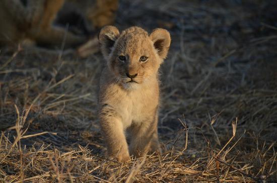 Londolozi Tree Camp: Lion Cub