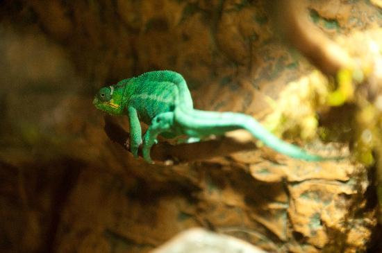 Chameleon Picture Of Dallas World Aquarium Dallas