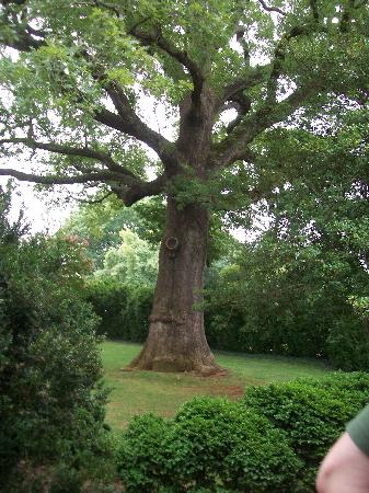 James Monroe's Highland: 250 year old tree