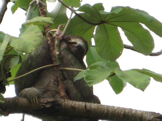 Hotel Mi Tierra: Sloth - 3 toed