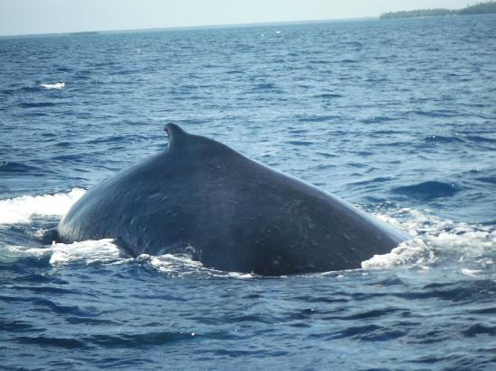 Royal Sunset Island Resort: Swimming with the whales