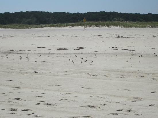 Nauset Inlet : trying to get a photo of the zillions of sandpipers