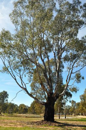 Beautiful Gum Tree