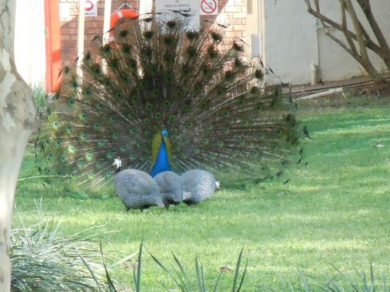 Protea Hotel Hluhluwe & Safaris: Peacocks