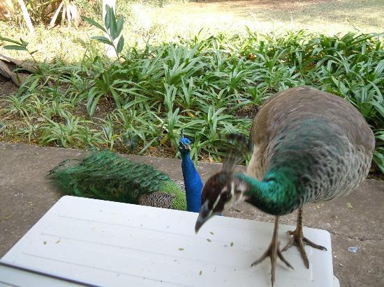 Protea Hotel Hluhluwe & Safaris: Peacocks outside our room.