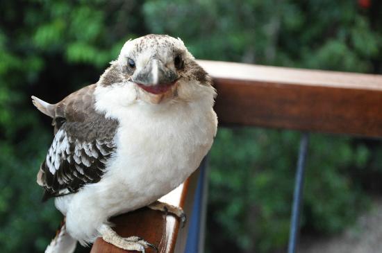 Kookas Bed & Breakfast : G'day Kookaburra