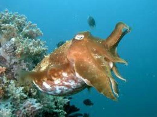 Raja Laut Dive Resort: Creature meravigliose
