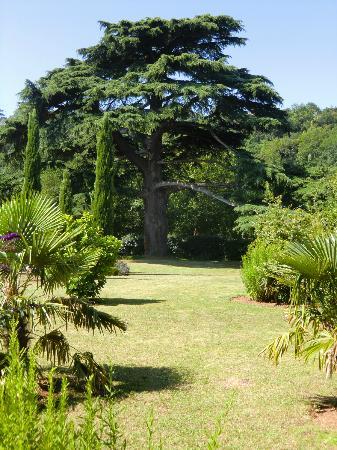 Les Cours du Clain: Très vieux cèdre, il est magnifique!