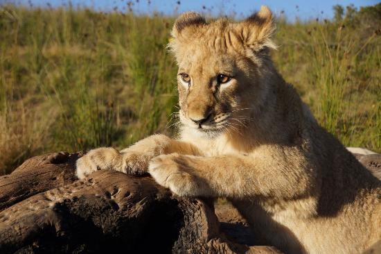 Cape Team Tours - Day Tours: Shy shy lion in Lion Walk