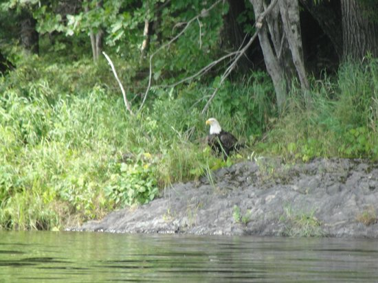 Maine: Bald Eagle watching us fishing.