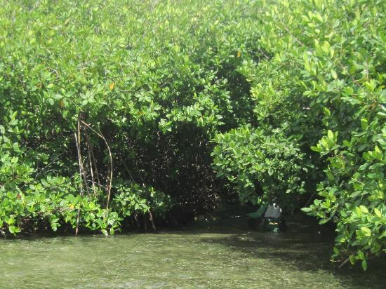 Lac Bay: Mangroves