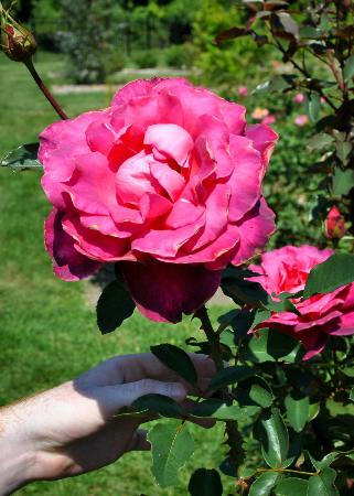 Dow Gardens: Check out the rose garden!