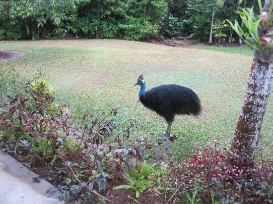 Hibiscus Lodge: Cassowary in backyard
