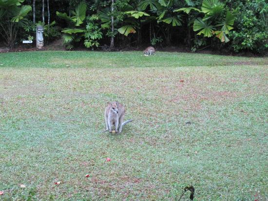 Hibiscus Lodge: Wallabies in backyard