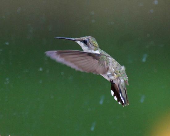 Auld Farm Inn B & B: Humming Bird