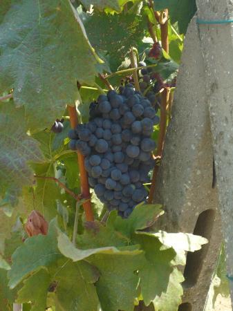 l'uva per il vino montecarlo