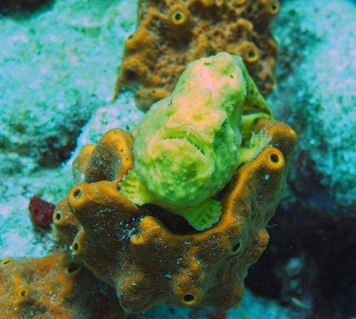 Divi Flamingo Beach Resort and Casino: Frogfish