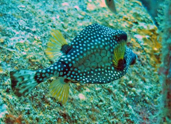 Divi Flamingo Beach Resort and Casino : Trunkfish