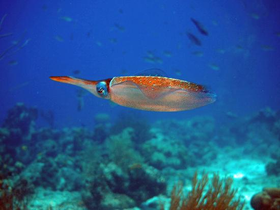 Divi Flamingo Beach Resort and Casino: Reef Squid